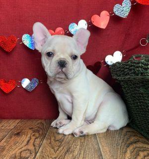 Sadie Female Frenchton Puppy