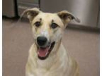 Adopt Emmy a Catahoula Leopard Dog, Australian Cattle Dog / Blue Heeler