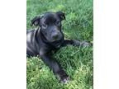 Adopt Patron a Black - with White Labrador Retriever / American Pit Bull Terrier