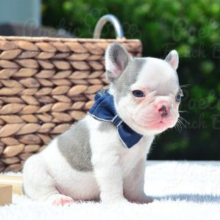 French Bulldog PUPPY FOR SALE ADN-77295 - Blue Pied Male Tucker