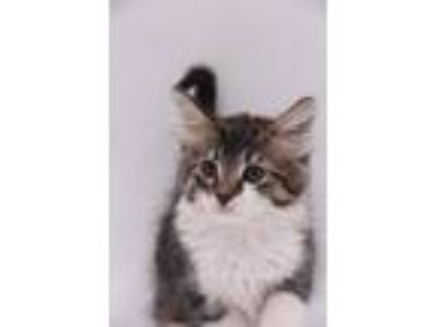 Adopt Canyon a Domestic Mediumhair / Mixed (short coat) cat in Thousand Oaks