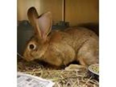 Adopt Maurice a Chocolate Other/Unknown / Other/Unknown / Mixed rabbit in