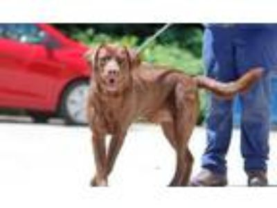 Adopt Hershey a Brown/Chocolate Mixed Breed (Large) / Mixed dog in Charleston