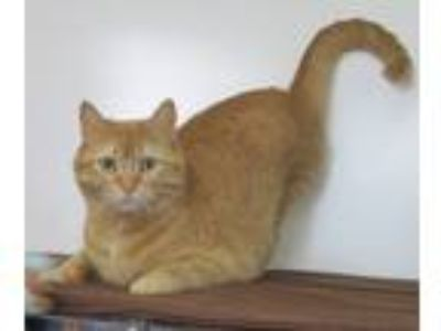 Adopt Charlie a Orange or Red Tabby Domestic Shorthair (short coat) cat in