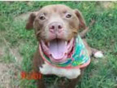 Adopt Kobi a Brown/Chocolate American Pit Bull Terrier / Mixed dog in