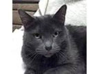 Adopt Jasmine a Gray, Blue or Silver Tabby Domestic Shorthair (short coat) cat