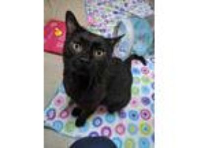 Adopt Ichabod a All Black Domestic Shorthair / Domestic Shorthair / Mixed cat in