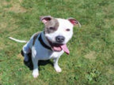 Adopt DAKOTA a White American Pit Bull Terrier / Mixed dog in Rockford