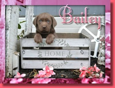 Bailey Female Labrador Retriever