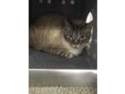 Adopt 19-692C Snowball a All Black Siamese / Domestic Shorthair / Mixed cat in