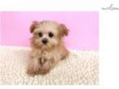 SHIH-POO (Empire Puppies [phone removed])