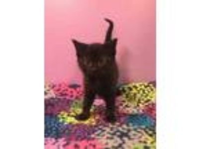 Adopt Journey a All Black Domestic Mediumhair / Domestic Shorthair / Mixed cat