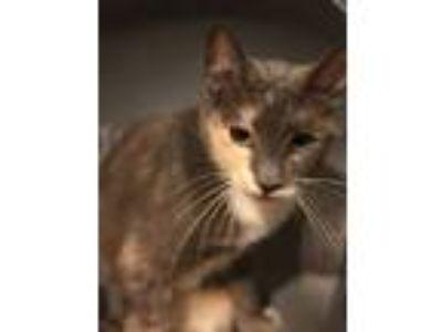 Adopt MOCHA- CARAMEL a Calico or Dilute Calico Calico (short coat) cat in