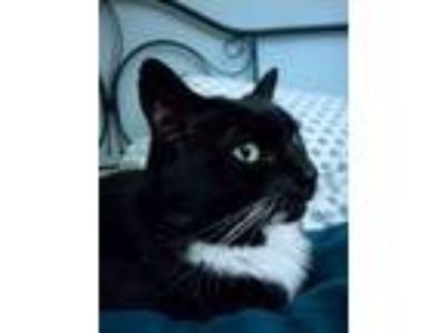 Adopt Molly a Black & White or Tuxedo Domestic Shorthair cat in Milwaukie