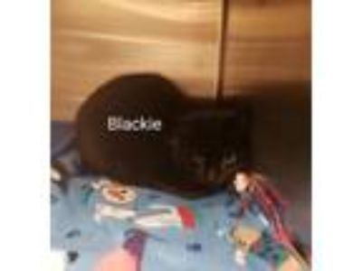 Adopt Blackie ( Dry Creek) a Domestic Short Hair