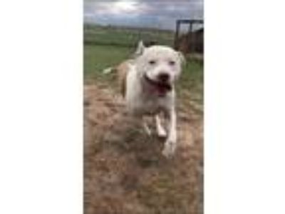 Adopt Odessius a White American Pit Bull Terrier / Mixed dog in Cheyenne