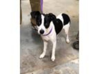 Adopt Saison a White - with Black Jack Russell Terrier dog in Manhattan