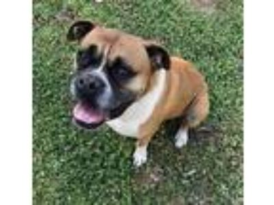 Adopt Chloe a Black - with Tan, Yellow or Fawn Boxer / Mixed dog in