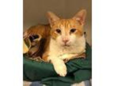 Adopt Cheddar a Domestic Short Hair