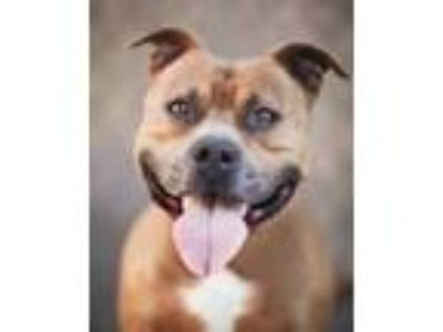 Adopt Brutus a Brown/Chocolate American Pit Bull Terrier / Mixed dog in