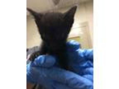 Adopt Festor a All Black Domestic Shorthair / Domestic Shorthair / Mixed cat in