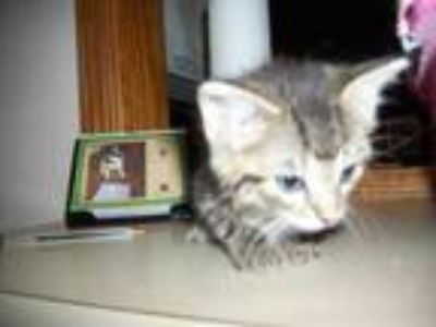 Adopt 35799472 a Gray or Blue Domestic Shorthair / Domestic Shorthair / Mixed