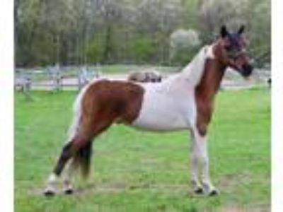 Beautiful Miniature Horse For Sale