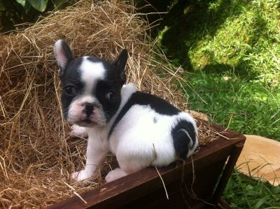 French Bulldog PUPPY FOR SALE ADN-89683 - Beautiful and adorable French Bulldog 1650