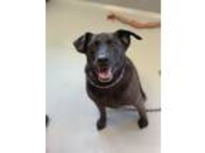 Adopt Rock a Black Mixed Breed (Large) / Labrador Retriever / Mixed dog in