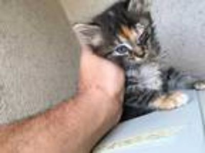 Adopt TIGER LILY a Brown Tabby Domestic Mediumhair / Mixed (medium coat) cat in
