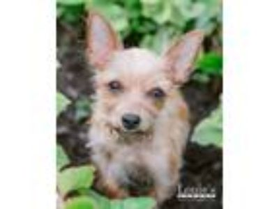 Adopt Penelope a Yorkshire Terrier
