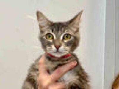 Adopt ROXY a Gray, Blue or Silver Tabby Domestic Mediumhair / Mixed (medium