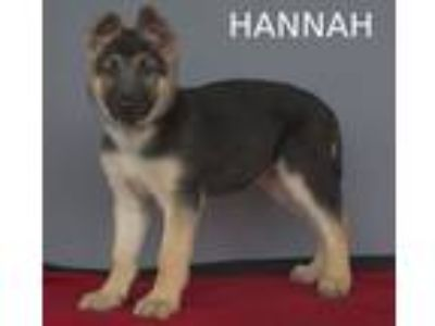 Adopt Hannah a German Shepherd Dog