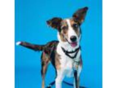 Adopt Bjork a Australian Cattle Dog / Mixed dog in Pittsburgh, PA (25627784)