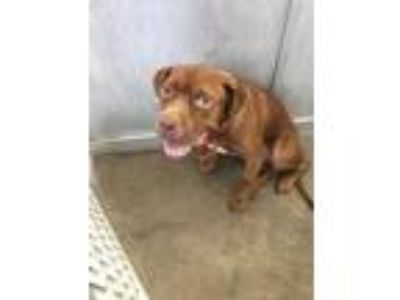 Adopt 42189429 a Brown/Chocolate American Pit Bull Terrier / Mixed dog in Fort