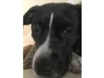 Adopt Leah a Black - with White Border Collie / Pit Bull Terrier dog in Allen