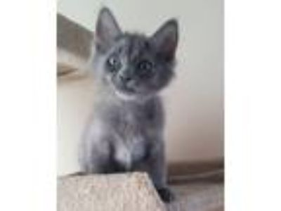 Adopt Eeyore a Russian Blue, Domestic Medium Hair