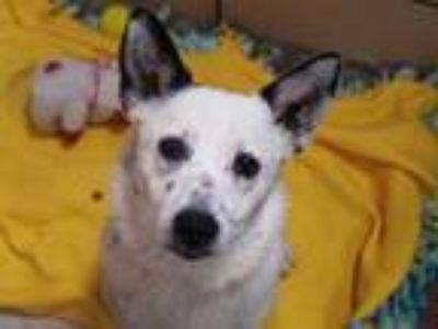 Adopt SOPHIE a White - with Black Australian Shepherd / Mixed dog in Fort Wayne