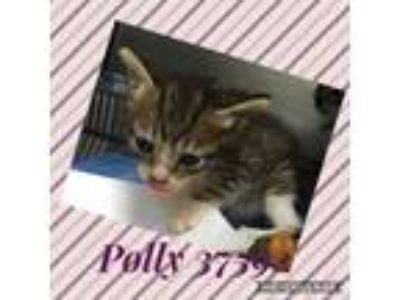 Adopt Polly a Domestic Short Hair