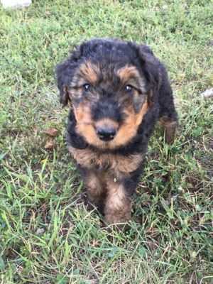 Airedale Terrier PUPPY FOR SALE ADN-74687 - 10 Airedale Terrier puppies