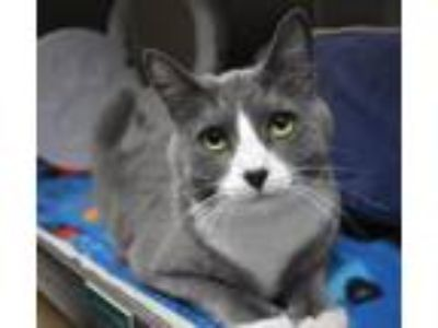 Adopt Mitsy a Domestic Short Hair