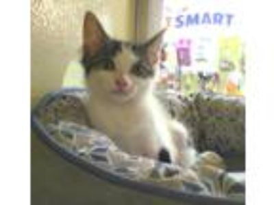 Adopt Sabrina a White (Mostly) Domestic Shorthair (short coat) cat in