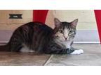Adopt Holly a Domestic Short Hair