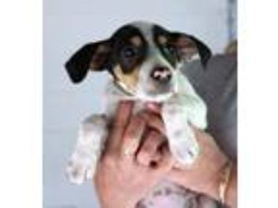 Adopt Spotty - Avail May 18 -CT a Terrier, Australian Shepherd