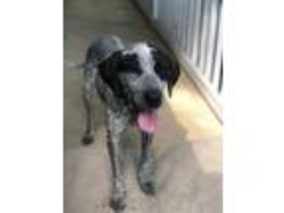 Adopt Bailey a Australian Cattle Dog / Blue Heeler