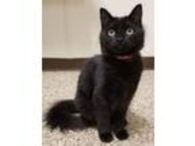 Adopt Elvira a Domestic Short Hair