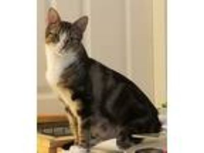 Adopt Daffodil a Brown Tabby Domestic Shorthair (short coat) cat in Oswego