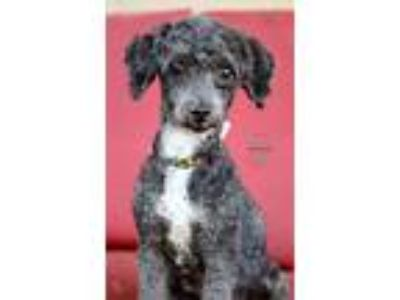 Adopt Skadoodle a Black Poodle (Miniature) / Mixed dog in Inglewood