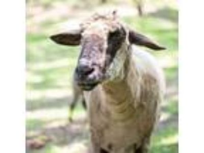 Adopt Salem a Sheep