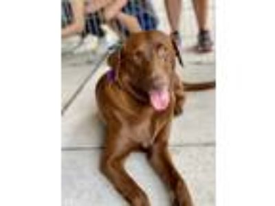 Adopt Celia a Brown/Chocolate Labrador Retriever / Mixed dog in Pittsburgh